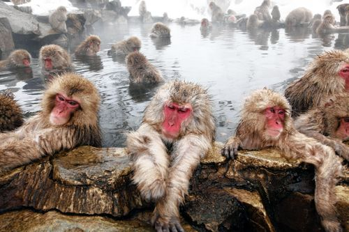 Snow monkeys WSJ